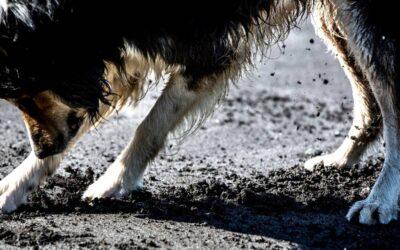 Bach Flower Remedy Guide for OCD Behavior in Dogs
