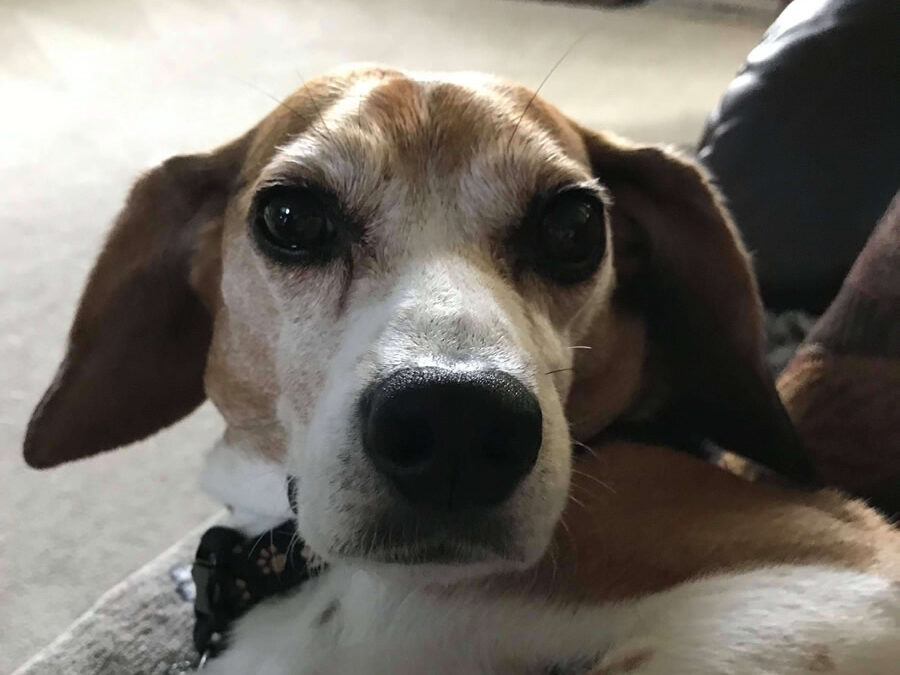 Owen the reescue Beagle, was noise phobic, fearful, and traumatized.