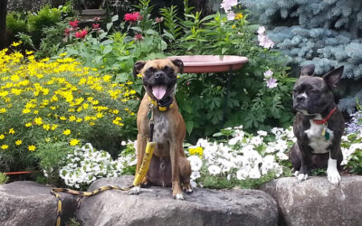 Reactive Territorial Fear Aggressive Dog – How Flower Essences Helped