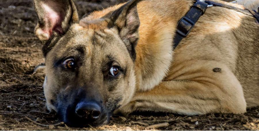 Flower essences to help OCD in dogs