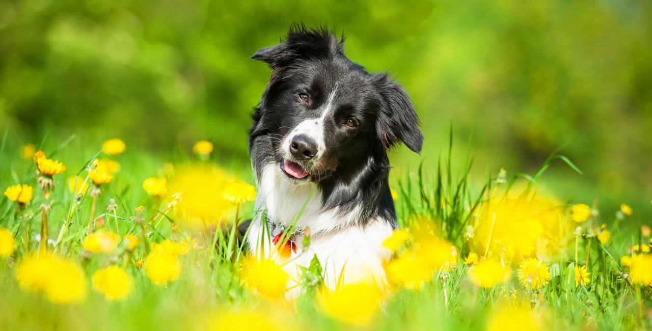 Benefits, uses, history and general info on flower essences for dogs