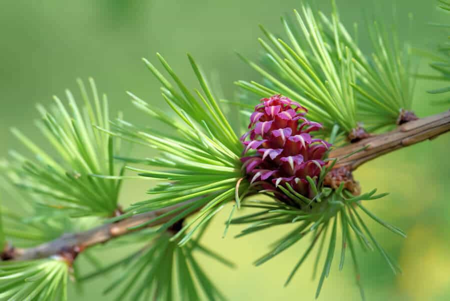 Larch flower essence for confidence in dogs