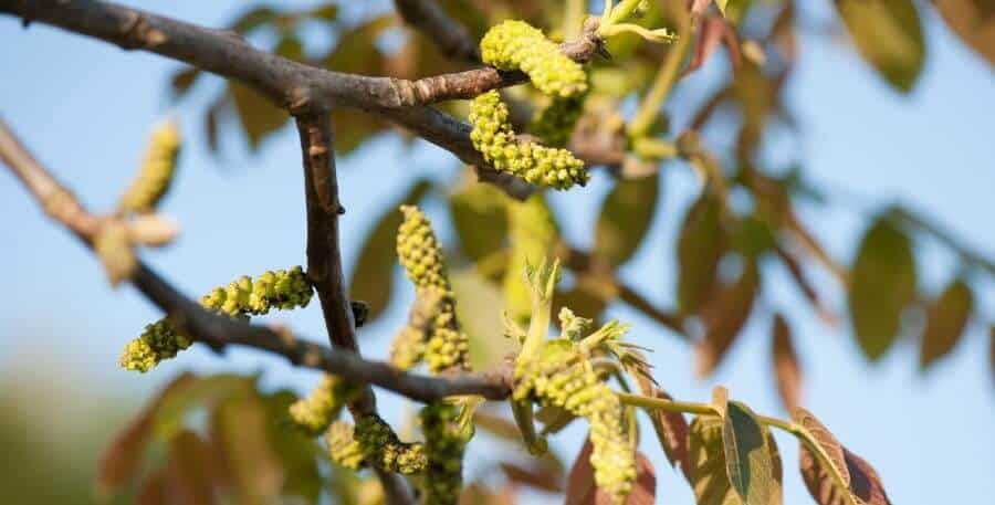 Walnut Bach flower essence to stabilize