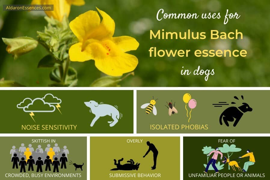 Uses and benefits of Mimulus Bach flower essence for dogs